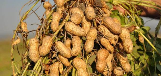 طريقة زراعة الفول السوداني حروف عربي