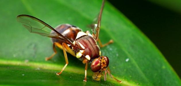 طرق مكافحة ذبابة الفاكهة