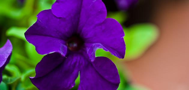 ما هي زهرة البنفسج