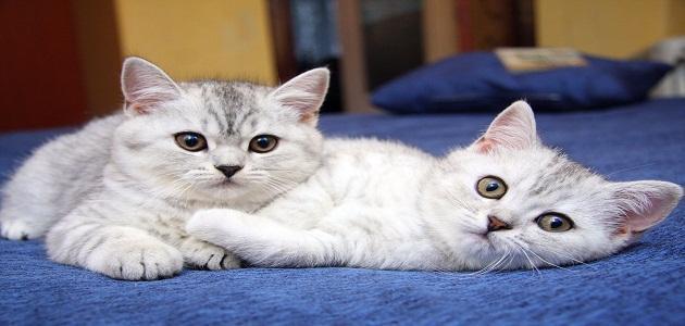 موضوع عن القطط حروف عربي