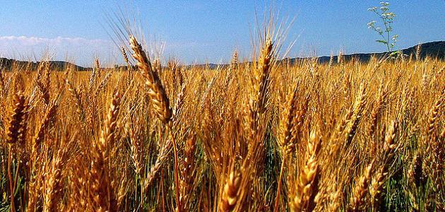 مراحل نمو بذرة القمح